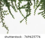 green creeper plant on a white... | Shutterstock . vector #769625776