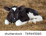 Small photo of Young dairy calf