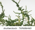 green creeper plant on a white... | Shutterstock . vector #769686460