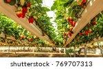 strawberry hanging farm full of ... | Shutterstock . vector #769707313