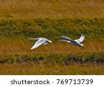 whoopers on wings   two... | Shutterstock . vector #769713739