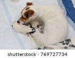 dog puppies jack russell... | Shutterstock . vector #769727734