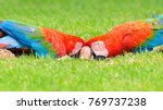 Small photo of Two red macaws feeding of seeds on the ground. Bird from Brazil, also known as Arara Vermelha.