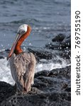 Male Brown Pelican In Courtshi...