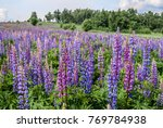 large leaved lupine  lupinus... | Shutterstock . vector #769784938