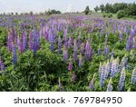 large leaved lupine  lupinus... | Shutterstock . vector #769784950