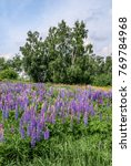 large leaved lupine  lupinus... | Shutterstock . vector #769784968