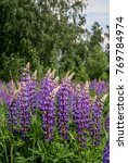 large leaved lupine  lupinus... | Shutterstock . vector #769784974