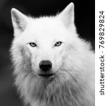Small photo of White Wolf in Black and White