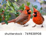Small photo of Northern Cardinals on Snowy Day with American Holly in Background