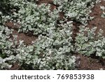 Small photo of African sage medicinal plant