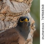 Small photo of Common Myna or Indian Mynah (Acridotheres tristis) bird