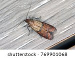 indian mealmoth or indianmeal... | Shutterstock . vector #769901068