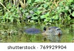 swimming nutria. the coypu ... | Shutterstock . vector #769929904