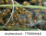 European Garden Spider...