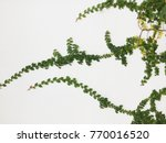 green creeper plant on a white... | Shutterstock . vector #770016520