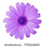 violet daisy flower on a white...   Shutterstock . vector #770026840