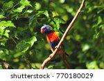 Rainbow Lorikeet On Tree