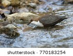 white throated dipper germany  | Shutterstock . vector #770183254