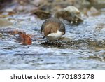 white throated dipper germany  | Shutterstock . vector #770183278