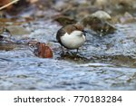 white throated dipper germany  | Shutterstock . vector #770183284