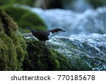 white throated dipper germany  | Shutterstock . vector #770185678