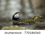 white throated dipper germany  | Shutterstock . vector #770186560