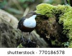 white throated dipper germany  | Shutterstock . vector #770186578
