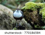 white throated dipper germany  | Shutterstock . vector #770186584