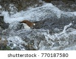 white throated dipper germany  | Shutterstock . vector #770187580