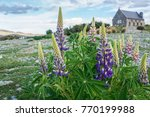 close up purple lupin flower in ... | Shutterstock . vector #770199988