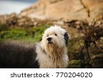 old english sheepdog outdoor... | Shutterstock . vector #770204020