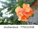 hibiscus flower  china rose ... | Shutterstock . vector #770212438