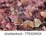 close up pink pastel dry flower ... | Shutterstock . vector #770220424