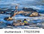 goliath heron in kruger...   Shutterstock . vector #770255398