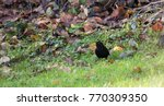Male Blackbird Walks Though Th...