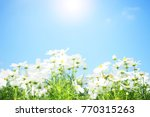 White Cosmos Flower Field With...