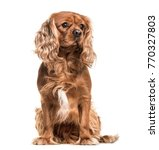 brown cavalier king charles... | Shutterstock . vector #770327803