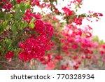 blooming bougainvillea. magenta ... | Shutterstock . vector #770328934