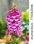 Digitalis Purpurea Flowers....