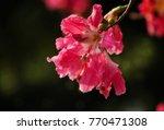 ceiba speciosa   chorisia... | Shutterstock . vector #770471308