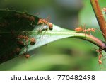ant red climb on green leaf  | Shutterstock . vector #770482498