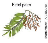 betel palm  areca catechu   or... | Shutterstock .eps vector #770502040