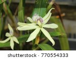"""""""clamshell orchid"""" flower  or...   Shutterstock . vector #770554333"""