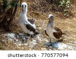 blue footed boobies  sula... | Shutterstock . vector #770577094
