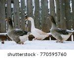 goose in the snow in the winter | Shutterstock . vector #770595760