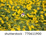 Beautiful Pansy In A Sea Of...