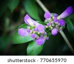 pachyptera hymenaea   hard wood ... | Shutterstock . vector #770655970
