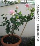 Plant Of Royal Highness Hybrid...