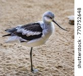 Small photo of An American Avocet stands on one leg on the beach in California.